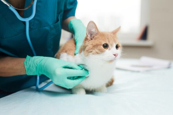 Close-up of female vet in protective gloves examining the pet with stethoscope in vet clinic