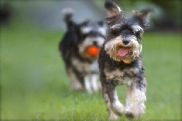 Two Dogs running with Teamwork!